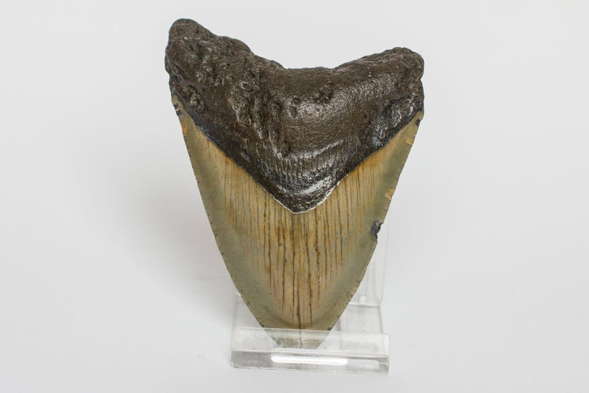 Diente Tiburón Fósil