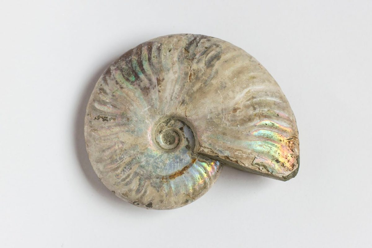 Ammonites Nacarado