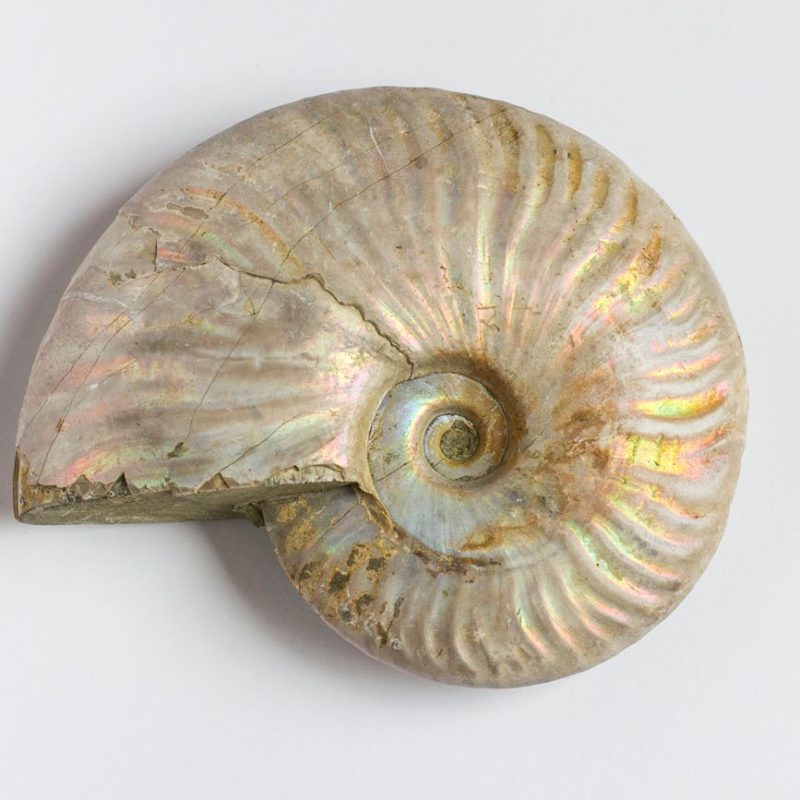 Ammonites Nacarado L